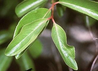 Viburnum prunifolium - Foliage