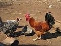 Village poultry 2 (4331876173).jpg