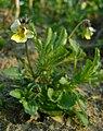 Viola arvensis kz1.jpg