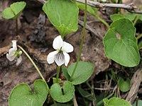 Viola macloskeyi 5496699.jpg