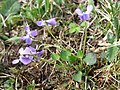 Viola rupestris sl4.jpg