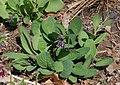 Virginia Bluebell Mertensia virginica Plant 2262px.jpg