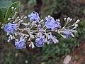 Vitex trifolia 05.JPG
