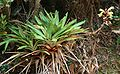 Vriesea williamsii 3.jpg