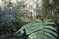Waipoua Forest, ferns-3.jpg