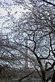 Washington Monument - through cherry tree branches - 2012-03-15 (6848969256).jpg