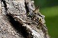 Wasp-mimic hoverfly (Sphiximorpha subsessilis), Parc de Woluwé, Bruxelles (26712591024).jpg