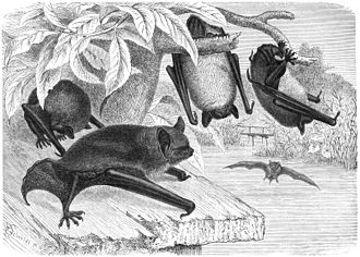 Atlantic (period) - Image: Wasserfledermaus drawing