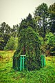 Weeping spruce in Kurenets.jpg