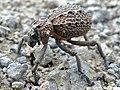Weevil (Brachycerus sp.) (6041259479).jpg