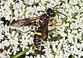 Weevil Wasp - Cerceris species, Julie Metz Wetlands, Woodbridge, Virginia - 20420436580.jpg