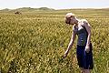 Wheat (6023367699).jpg