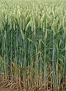 Wheat field.jpg