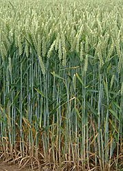 Wheat is the most produced cereal crop