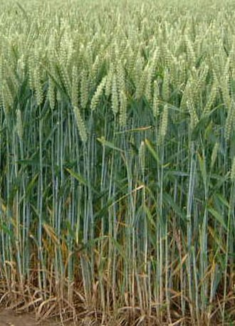 Norman Borlaug - Wheat is the third most-produced cereal crop.