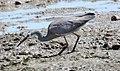 White-faced Heron (Egretta novaehollandiae) (31343295045).jpg