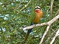 White-fronted Bee-Eater (Merops bullockoides) (6045425656).jpg