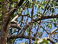 White-fronted Falconet (13970633628).jpg