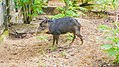 White-lipped peccary at the Paramaribo Zoo (31332916405).jpg