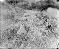 White-rumped sandpipers on nest (68983).jpg