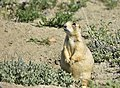 White-tailed prairie dog on Seedskadee National Wildlife Refuge (34757181180).jpg