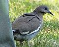 White-winged Dove (5998341794).jpg