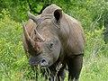 White Rhino (Ceratotherium simum) (12615778784).jpg