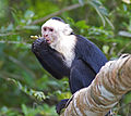 White faced Capuchin.jpg