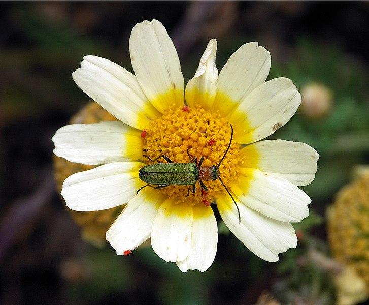 Ficheiro:White flower with beetle.jpg