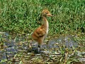 Whooping Crane Chick (6923604431).jpg