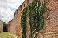 Wijąca się roślina na fragmencie muru.jpg