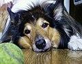 Wikipedysta Andrzej Montezuma-pies.jpg