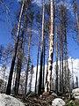 WildFireAreaNHorken0709-deadPCAB-livingPISY.JPG