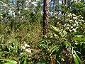 Wild Flowers - panoramio (19).jpg