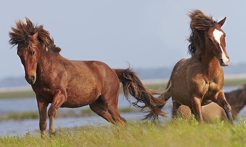 File:Wildlife (Horses in France).jpg
