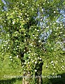 Willow and wild rose (19614583005).jpg