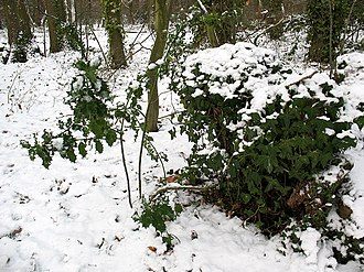 The Holly and the Ivy - Holly and ivy in the snow in Elmstead Wood