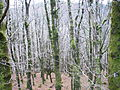 Winter tree trunks.JPG