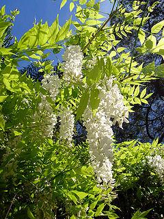 <i>Wisteria sinensis</i> species of plant