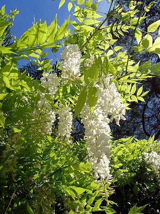 Gibraltar Botanic Gardens - Image: Wisteria sinensis, Gibraltar