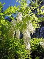 Wisteria sinensis, Gibraltar.JPG