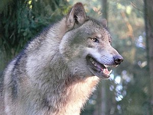 Wolf hunting - The European grey wolf (Canis lupus lupus) was a popular quarry in Europe of the Middle Ages