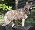Wolf (5696467681).jpg