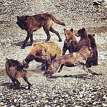 Wolves attack a grizzly mother & cubs. She escapes (7761841618).jpg