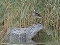 Wood Sandpiper (Tringa glareola) (44668541284).jpg