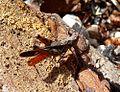 Woodland grasshopper. Omocestus raymondi. Acrididae - Flickr - gailhampshire.jpg
