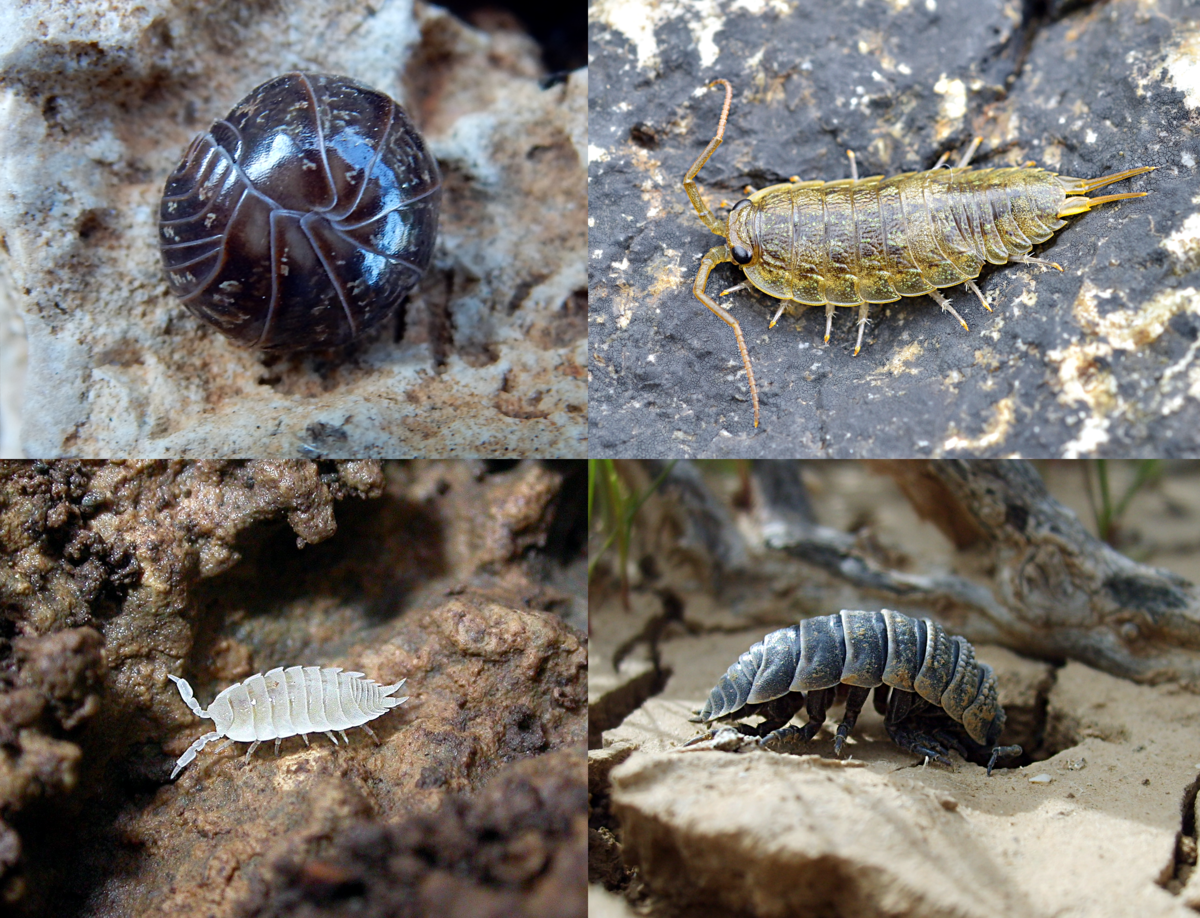 foto How to Look After a Pet Woodlouse