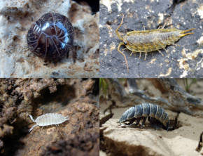 Collage of woodlice