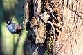 Woodpecker (5343541861).jpg