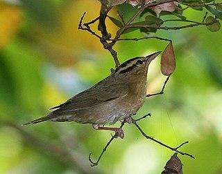 Worm-eating warbler species of bird